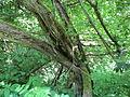 20140606Vitis vinifera subsp. sylvestris05.jpg