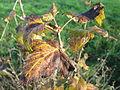 20141108Ribes uva-crispa2.jpg