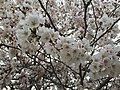 2015-04-10 16 45 32 Japanese Cherry blossoms on Cheshire Court in Sterling, Virginia.jpg