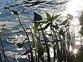 20150910Sagittaria sagittifolia2.jpg
