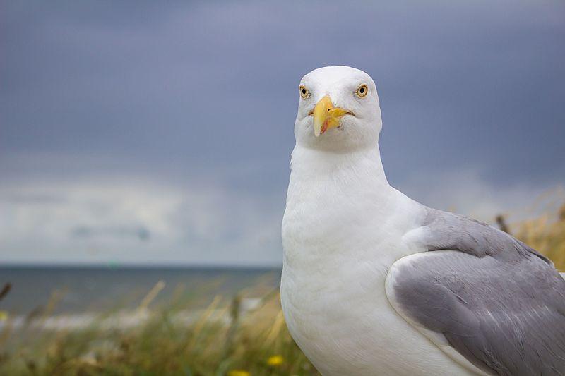 File:2016-07-27 Seagull in Zandvoort aan Zee (02) (freddy2001).jpg