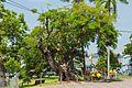 2016 Malakka, Drzewo przy ulicy Kota (Jalan Kota).jpg