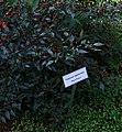 20171014 - Capsicum nigrum Willd. 'Black Prince'.jpg