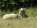 2018-07-02 Two sheep, Trimingham, Norfolk.JPG