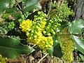 20180414Mahonia aquifolium1.jpg