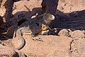 20180805-Galápagos land iguana at Seymour Norte-2 (9245).jpg