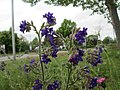 20190511Anchusa officinalis1.jpg