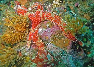 <i>Orthasterias</i> Genus of starfishes
