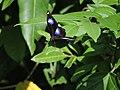 318.1琉球紫蛺蝶11(葉錫根攝) (18423818423).jpg