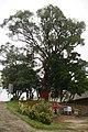 980224新竹金山面老樹醫療保固峻工掛紅布儀式18.jpg