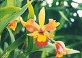 A and B Larsen orchids - Brassolaeliocattleya Daffodil x LC Edgard Van Belle 560-23.jpg