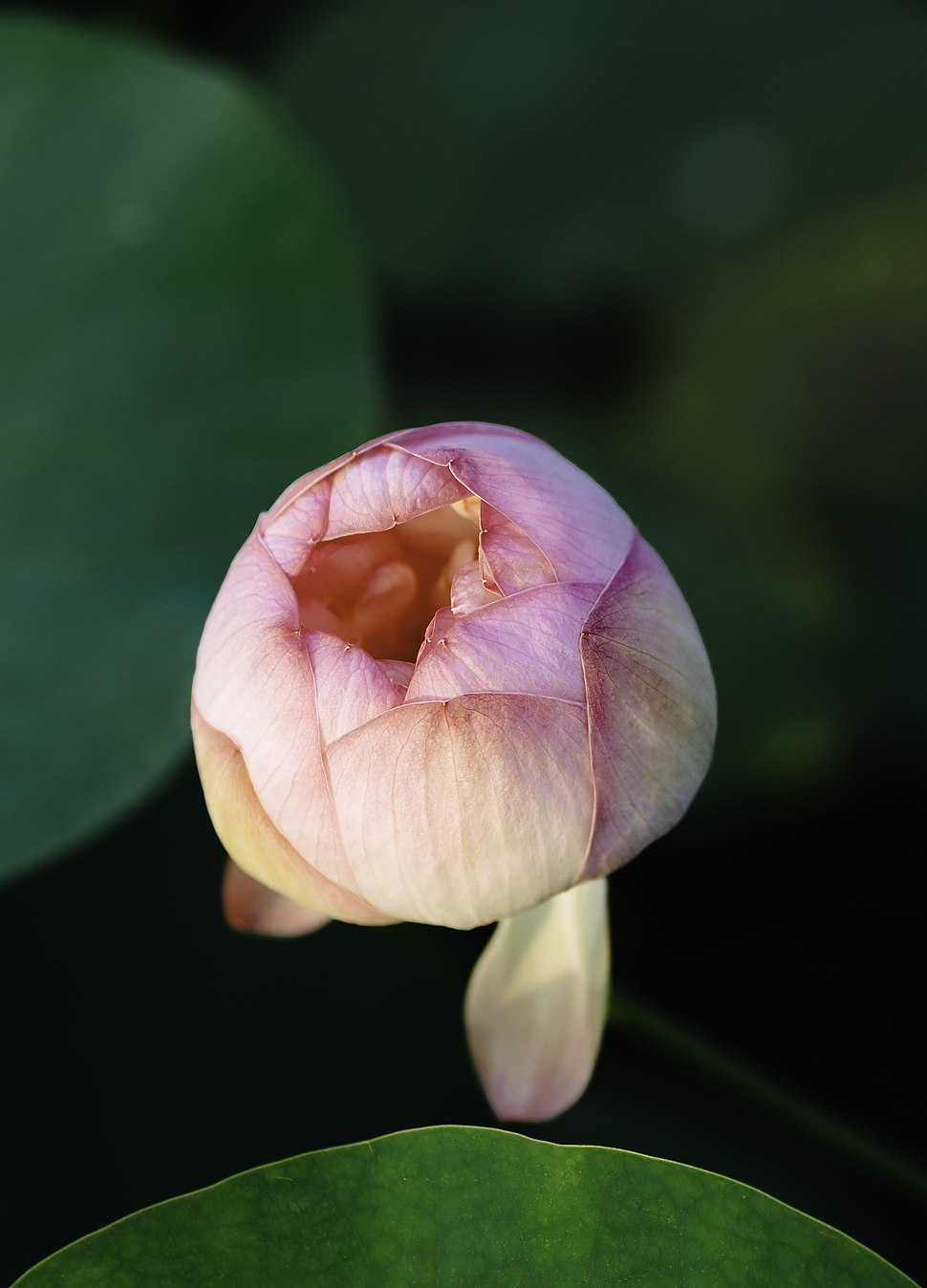 A budding lotus flower