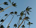A bunch of palm trees. (4671602370).jpg