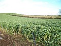 A field of brassicas east of the Commons Road - geograph.org.uk - 2184623.jpg