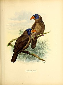 A monograph of the Capitonidæ, or scansorial barbets (20181451181).jpg
