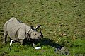 A rhino with two friends.jpg