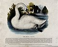 A swan on a lake. Coloured wood engraving by J. W. Whimper. Wellcome V0020510.jpg