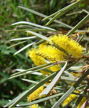 feuilles de l'acacia aneura