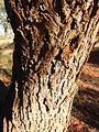 Acacia estrophiolata bark.jpg