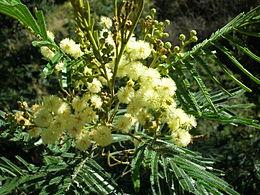 Acacia mearnsii blossoms