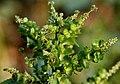 Acalypha indica W2 IMG 4045.jpg