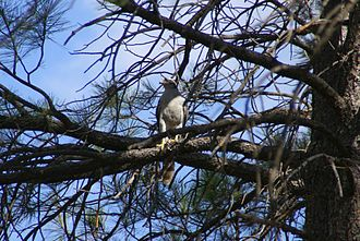 Northern goshawk - An adult goshawk in the Kaibab Plateau, Arizona, in a pine tree that typifies the habitat used locally.