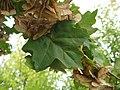 Acer campestre leaf 02 by Line1.JPG