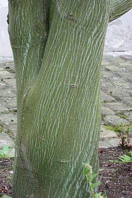 Acer davidii 'Ernest Wilson' 02 by Line1
