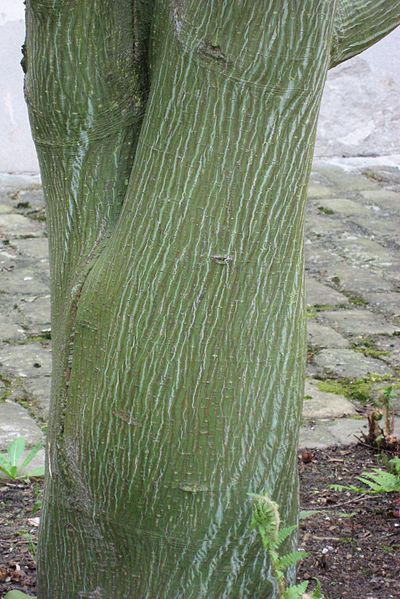 File:Acer davidii 'Ernest Wilson' 02 by Line1.jpg