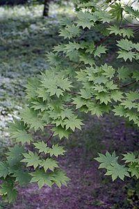 Acer sieboldianum1