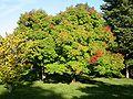 Acer triflorum.jpg