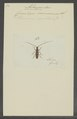 Achryson - Print - Iconographia Zoologica - Special Collections University of Amsterdam - UBAINV0274 033 03 0007.tif