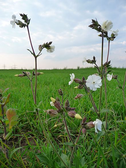 Depicts Silene latifolia in an open area that has a lot of exposure to sunlight for proper growth.