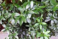 Acokanthera oblongifolia 0zz.jpg