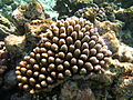 Acropora globiceps Maldives.jpg