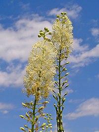 Actaea racemosa 002