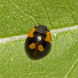 Coccinelle à deux points (Adalia bipunctata)