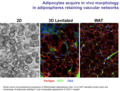 Adipocytes cultured by MLM acquire in vivo morphology in adipospheres.tiff