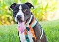 Adoptable dog (44006495232).jpg