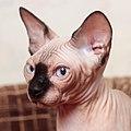 Adult cat Sphynx. img 012.jpg
