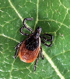 Lyme disease - Wikipedia, the free encyclopedia