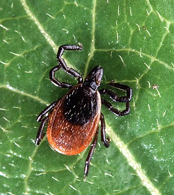 English: Adult deer tick, Ixodes scapularis. Č...