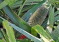 Aechmea sphaerocephala - Marie Selby Botanical Gardens - Sarasota, Florida - DSC01353.jpg