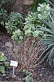 Aeonium lindleyi - Botanischer Garten, Dresden, Germany - DSC08426.JPG