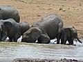 African Elephants (Loxodonta africana) drinking (8290574921).jpg