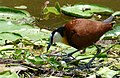 African Jacana (Actophilornis africanus) shielding one egg from the sun ... (39807079893).jpg