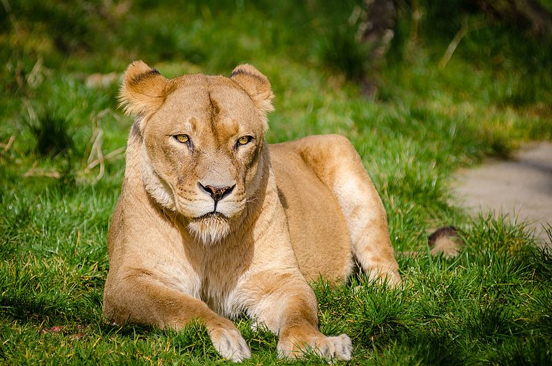 File:African Lioness relaxing after lunch.jpg