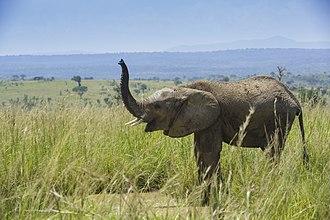 African bush elephant (Loxodonta africana)- Murchison Falls National Park.jpg