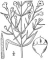 Agalinis tenuifolia macrophylla drawing.png