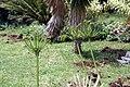 Agapanthus africanus 15zz.jpg
